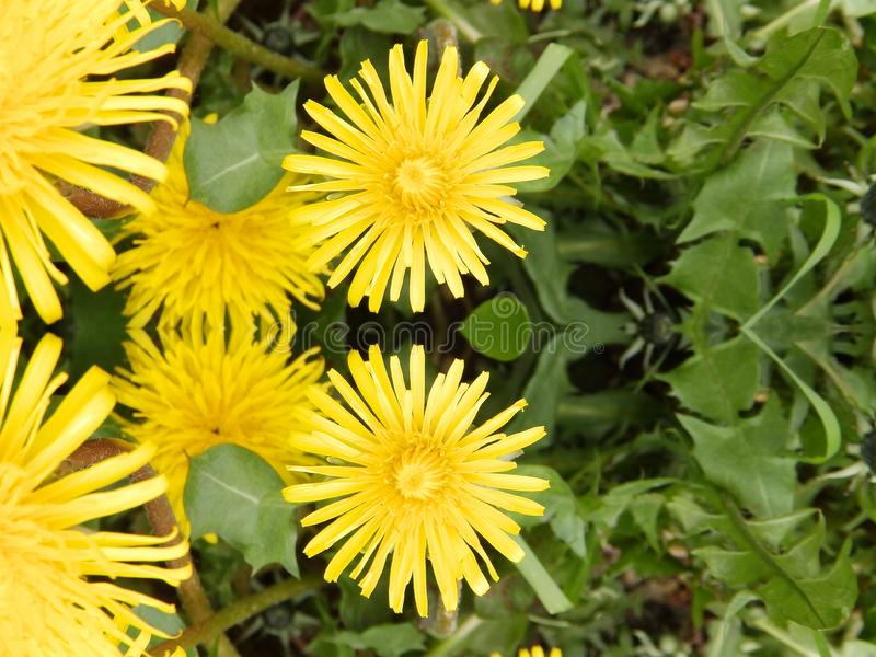 Vedere il doppio fiore giallo del dente di leone immagine stock