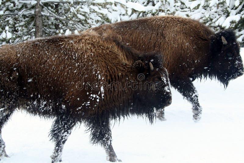 Vedere occhio per osservare con il bisonte del bufalo immagine stock libera da diritti
