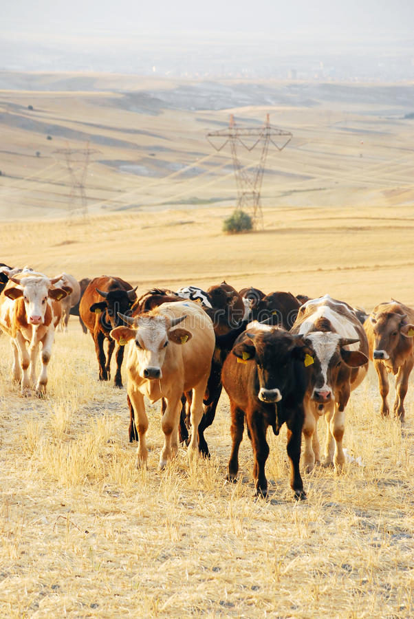 Vee in het landbouwbedrijf royalty-vrije stock afbeelding