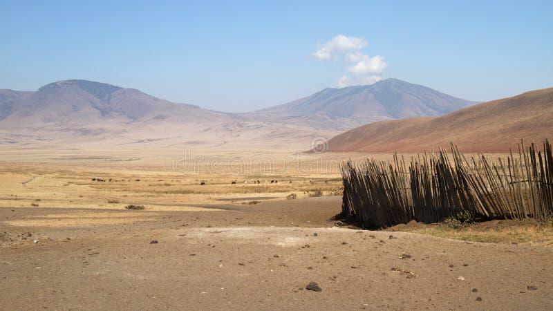 Vee het weiden buiten een Maasai-bomabijlage in het Ngorongoro-behoudsgebied, Tanzania stock afbeelding