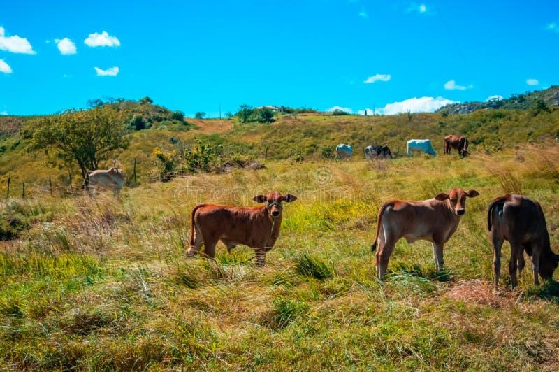 Vee het weiden, zonnige dag, op plattelandsgebied stock foto