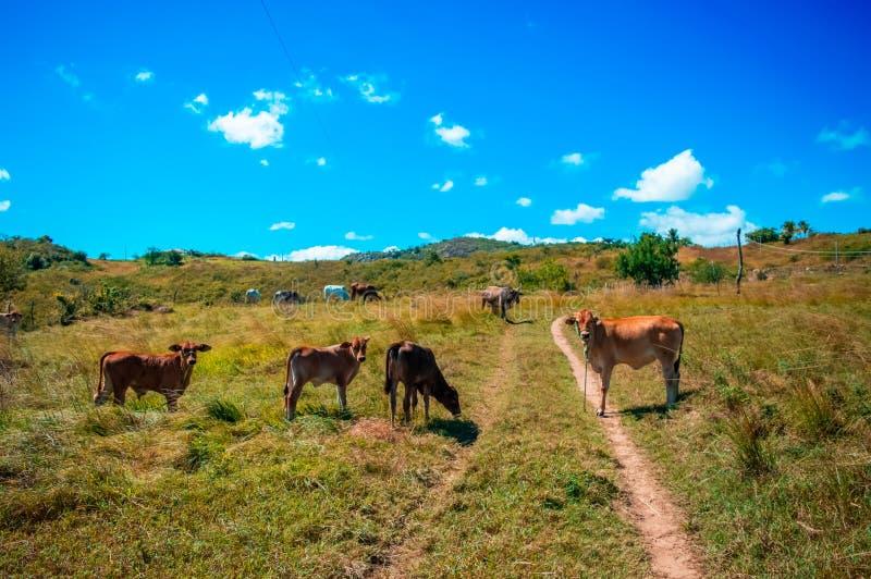 Vee het weiden, zonnige dag, op plattelandsgebied stock afbeeldingen