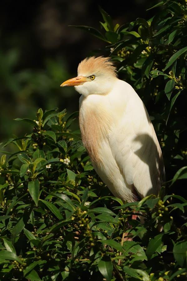 Veeaigrette & x28; Bubulcus ibis& x29; stock afbeeldingen