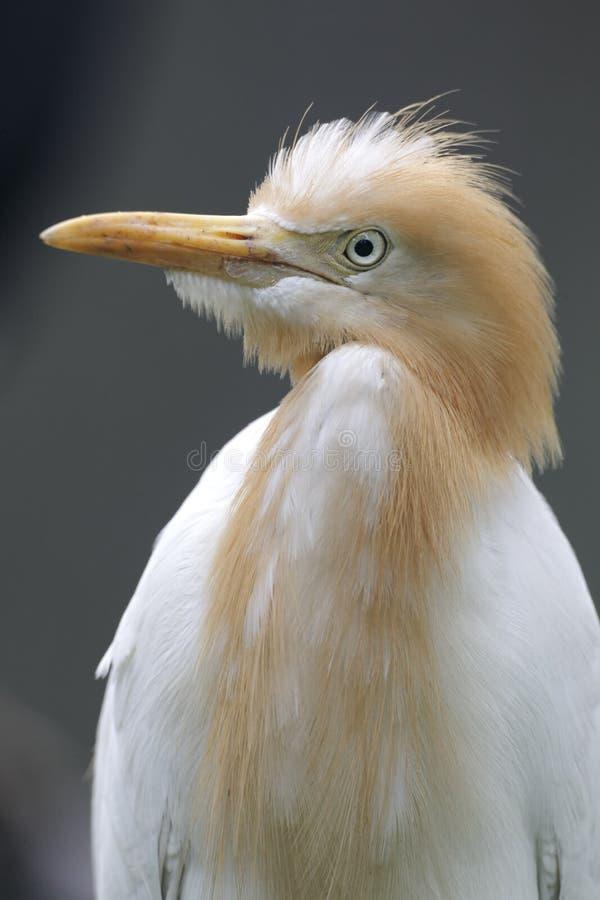 Veeaigrette, Bubulcus-ibis stock afbeelding