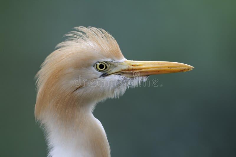 Veeaigrette, Bubulcus-ibis royalty-vrije stock afbeelding