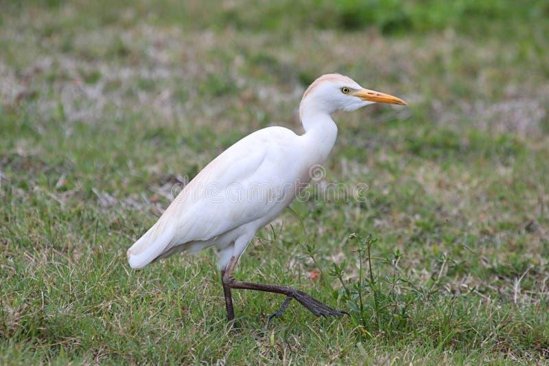 Veeaigrette (Bubulcus-ibis) royalty-vrije stock afbeeldingen