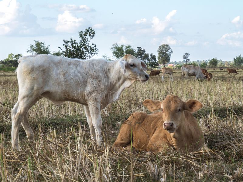 Veehouderij op de gebieden royalty-vrije stock foto's