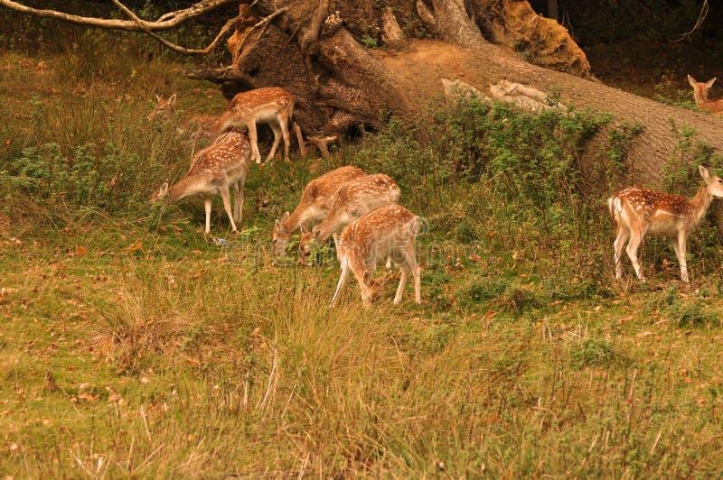 Veel Bambi stock foto