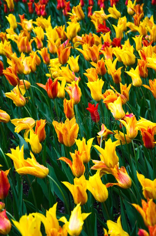 Veel bloeiende geel-rode tulpen stock afbeeldingen