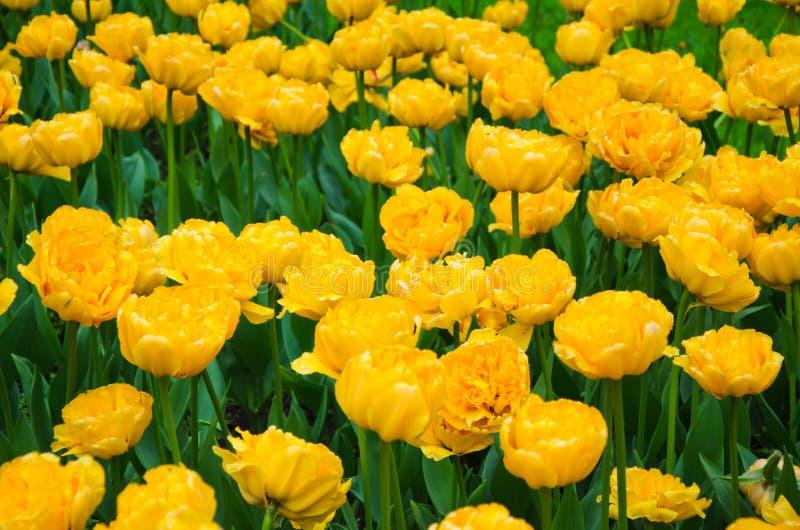 Veel bloeiende gele tulpen stock foto's