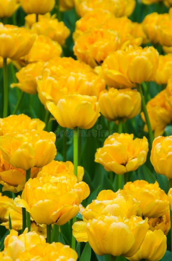 Veel bloeiende gele tulpen royalty-vrije stock fotografie