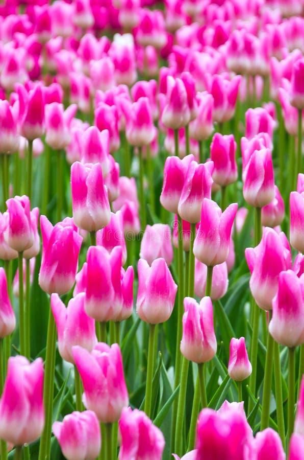 Veel bloeiende roze en witte tulpen royalty-vrije stock foto's