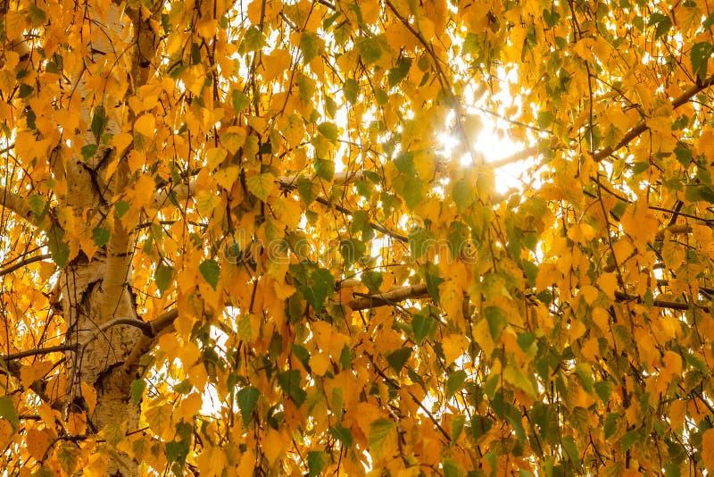 Veel de gele bladeren van de de herfstberk tegen de zon voor backg royalty-vrije stock foto