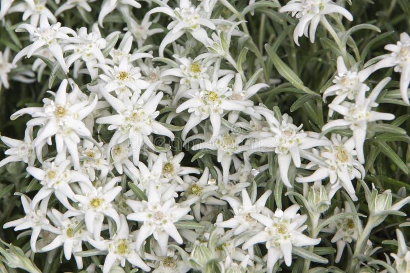 Veel Edelweissbloemen stock afbeeldingen