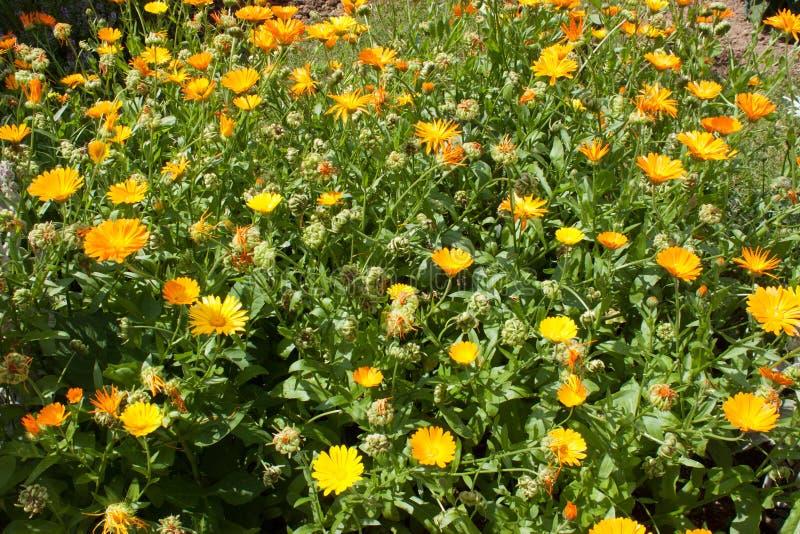 Veel gele en oranje calendulabloemen in aard behang royalty-vrije stock foto's