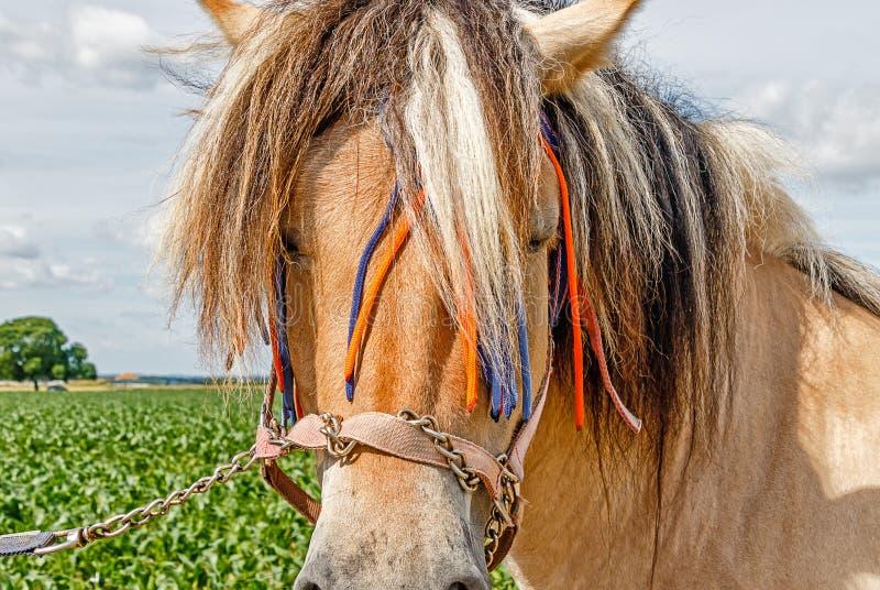 Veel liefs verfraaid Noors Fjordpaard stock afbeeldingen
