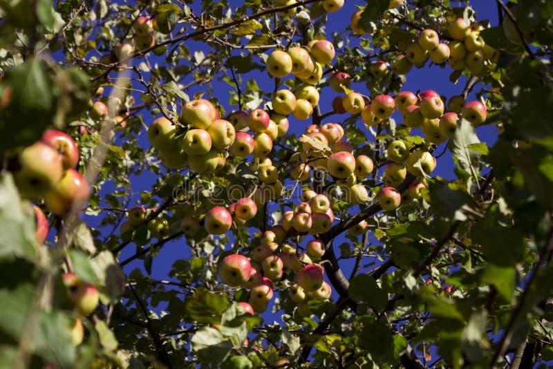 Veel rijpe groene en rode appelen die op de Apple-boom hangen royalty-vrije stock foto