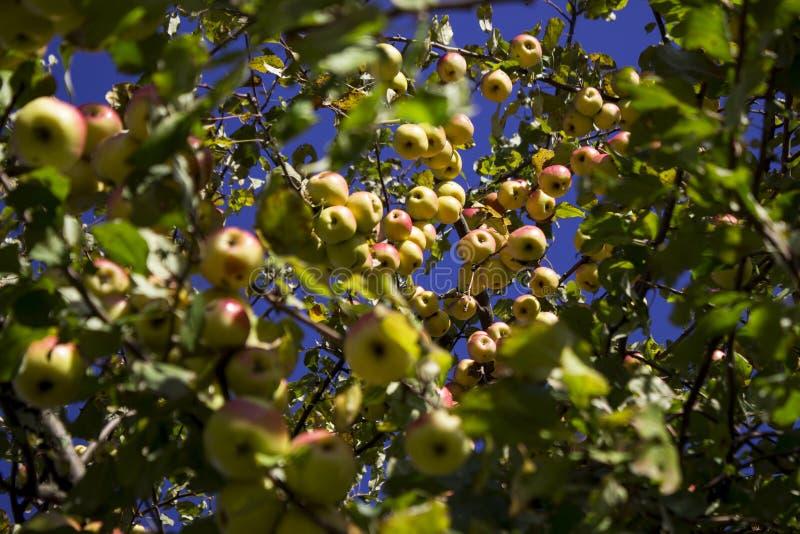 Veel rijpe groene en rode appelen die op de Apple-boom hangen royalty-vrije stock fotografie