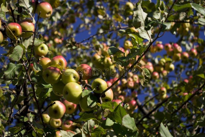 Veel rijpe groene en rode appelen die op de Apple-boom hangen stock fotografie