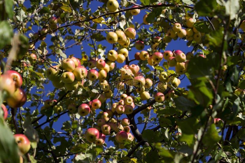Veel rijpe groene en rode appelen die op de Apple-boom in t hangen stock foto's
