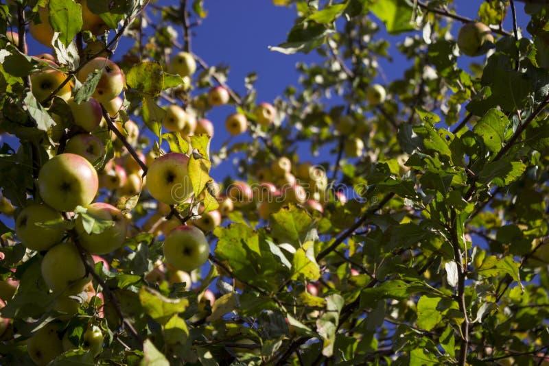 Veel rijpe groene en rode appelen die op de Apple-boom in t hangen stock fotografie
