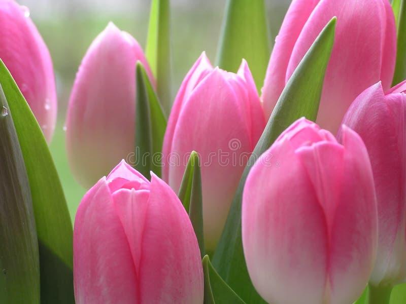 Veel roze tulpen royalty-vrije stock foto