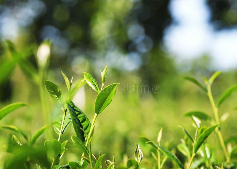 Veel verse groene sappige bladeren van thee het groeien op de berg royalty-vrije stock foto's