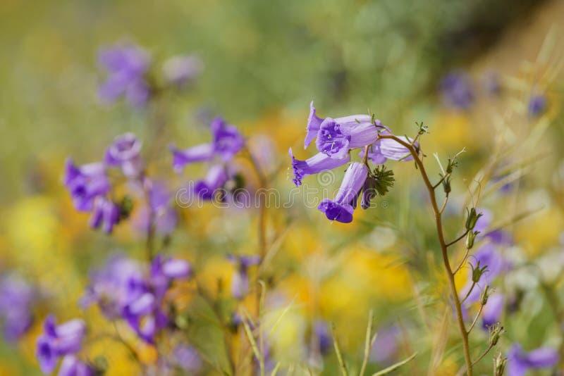 Veel wilde bloembloesem in Diamond Valley Lake stock fotografie