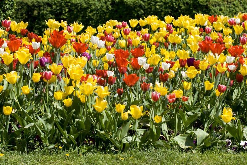 Veelkleurige tulpen stock fotografie