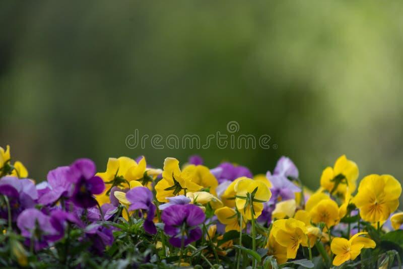 Veelkleurige viooltjebloemen of pansies dichte omhooggaand als achtergrond of kaart stock afbeeldingen