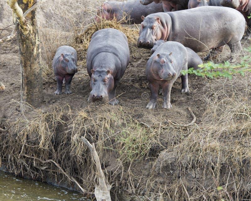 Veelvoudige hippos van verschillende grootte die zich bij de rand van de rivier bevinden die het binnengaan overwegen royalty-vrije stock afbeeldingen