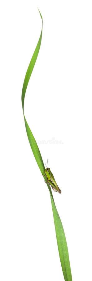 Veenmol op een grasblad voor witte achtergrond stock afbeelding