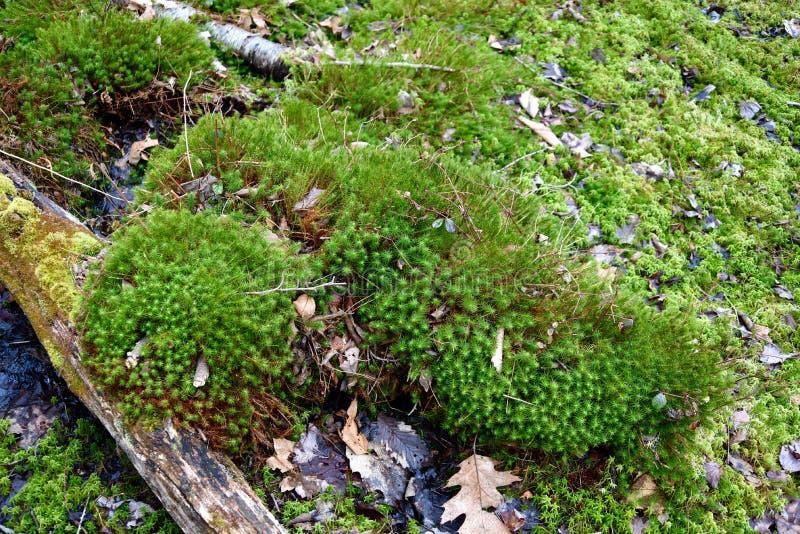 Veenmosmos en andere mossen die op een bosvloer groeien stock fotografie