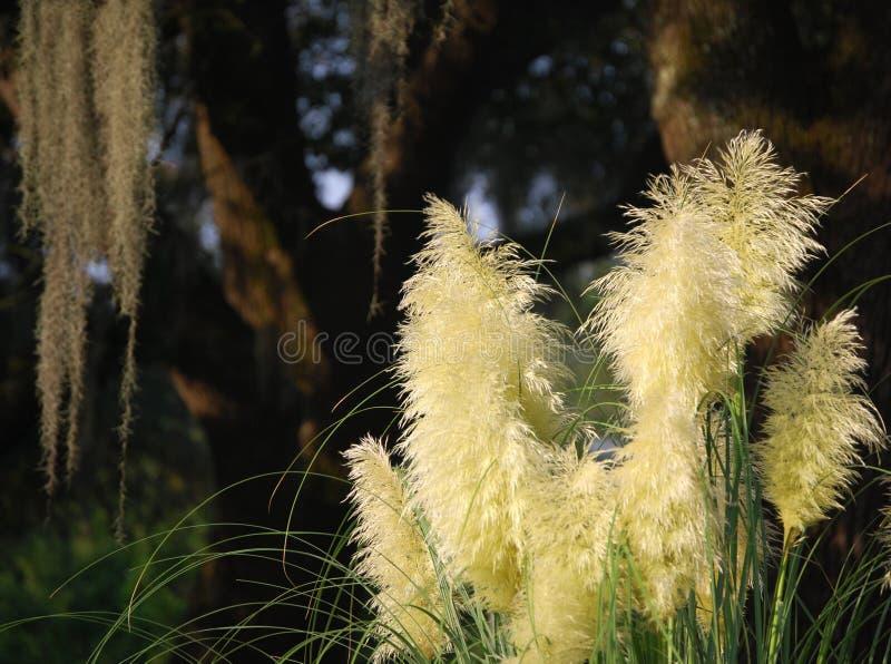 Veer-als de zonneschijngras van de savanne stock fotografie