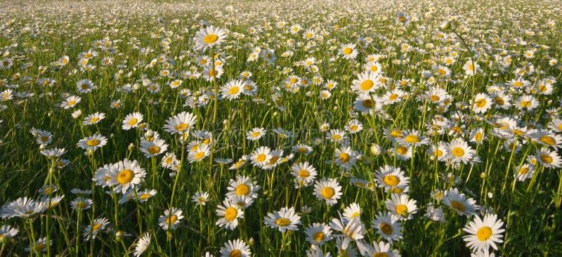 Veermadeliefje bloemen textuur stock afbeeldingen