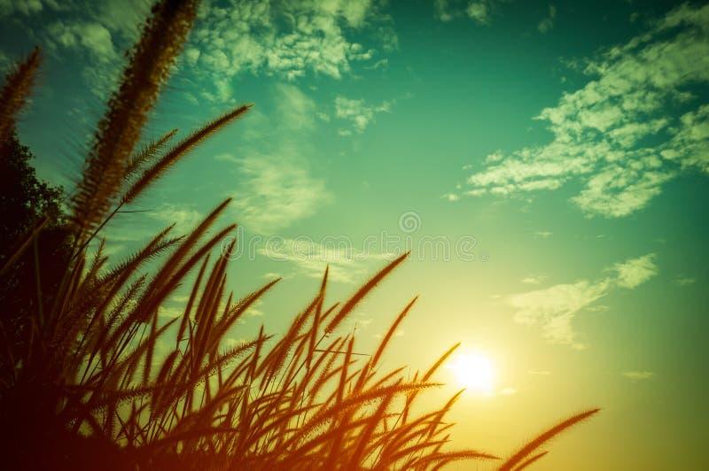 Veerpennisetum die tegen het zonlicht gloeien Sereniteit backgr royalty-vrije stock afbeeldingen