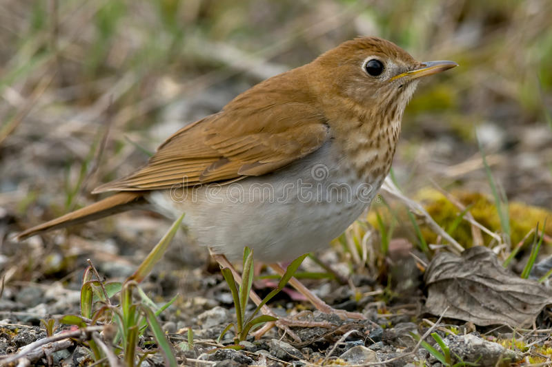 Veery. Standing on the ground royalty free stock images