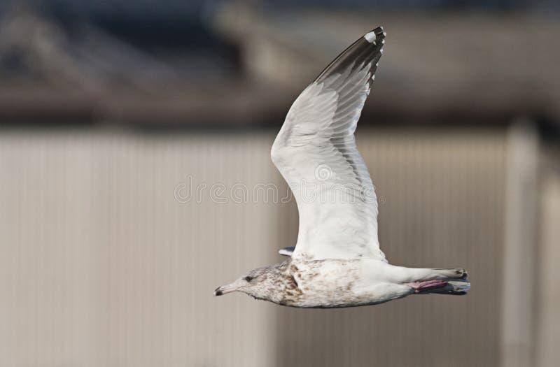 Vega Meeuw, Vega Gull, Larus vegae stock photography