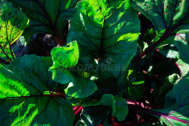 Vegan food on the home garden. Large green leaves of table beet with massive bright red stems. Vegan food on the home garden stock photography