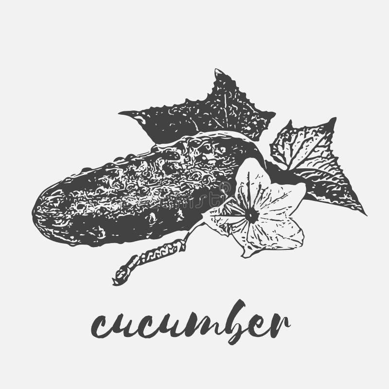 Veganist organische komkommer stock illustratie