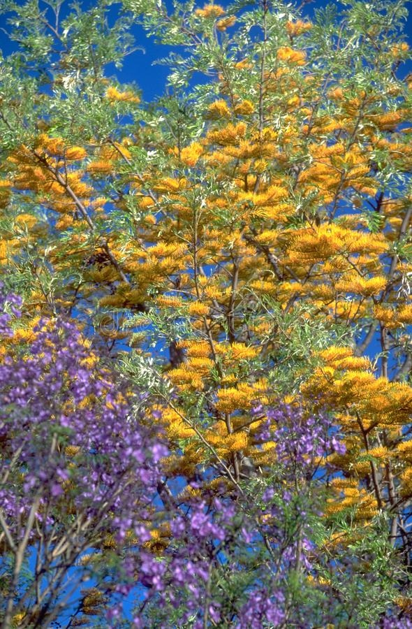 Vegetação de África do Sul com uma árvore do Jacaranda do violett imagem de stock