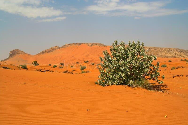Vegetação de reposição com a árvore isolada no ambiente seco foto de stock