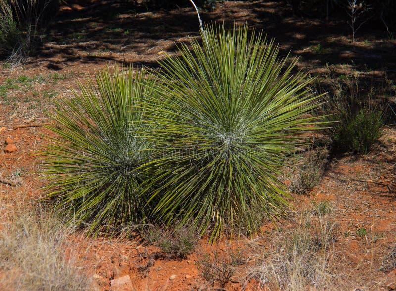 Vegetação do deserto perto de Sedona o Arizona foto de stock