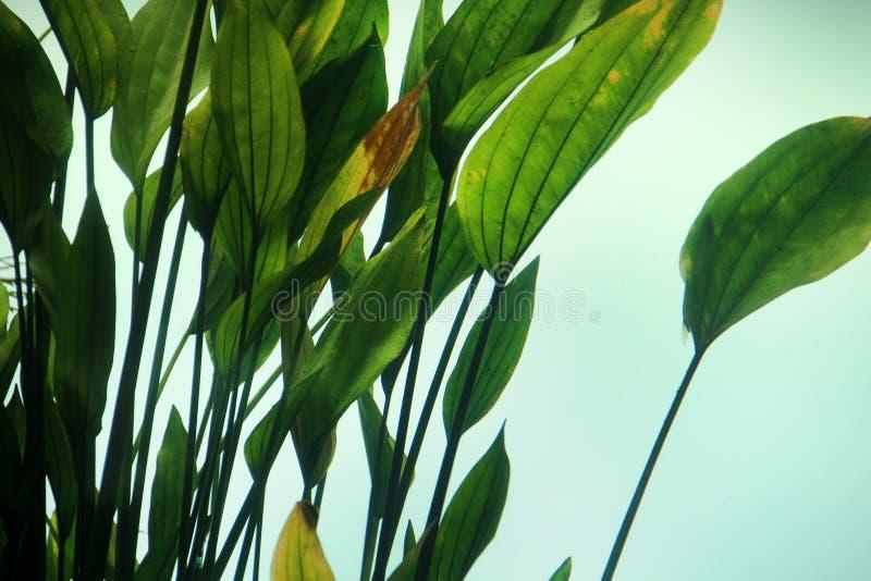vegetação grande da folha do aquário foto de stock