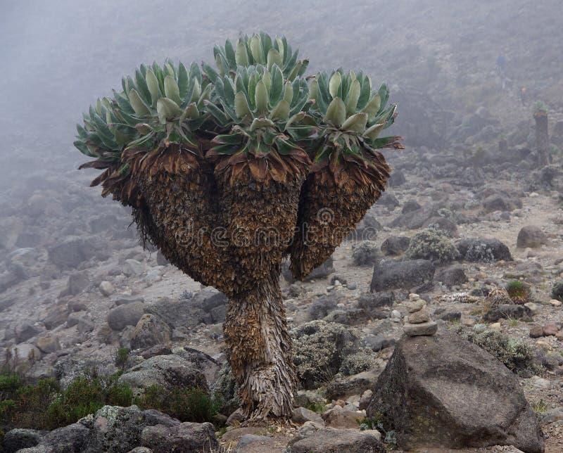 Vegetação Kilimanzharo Senecio foto de stock