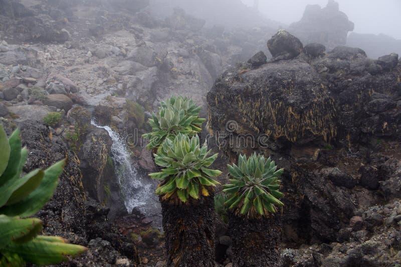 Vegetação Kilimanzharo Senecio imagem de stock