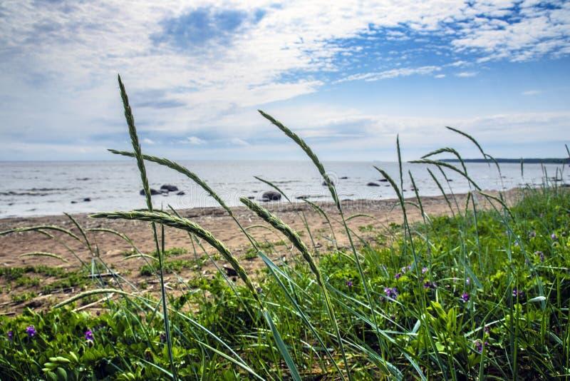 Vegetação rara mas bonita na costa abandonada do Mar do Norte os spikelets de colheitas da aveia dobram-se sob a força de um vent foto de stock royalty free