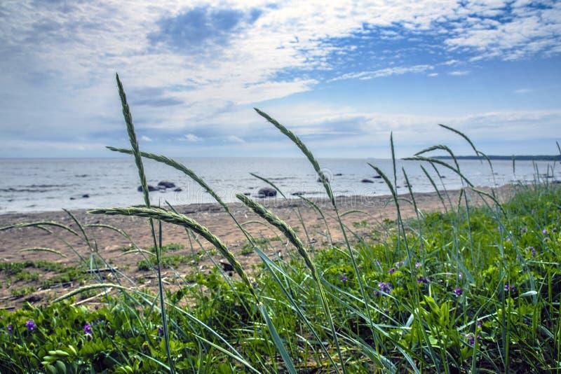 Vegetação rara mas bonita na costa abandonada do Mar do Norte os spikelets de colheitas da aveia dobram-se sob a força de um vent fotos de stock royalty free