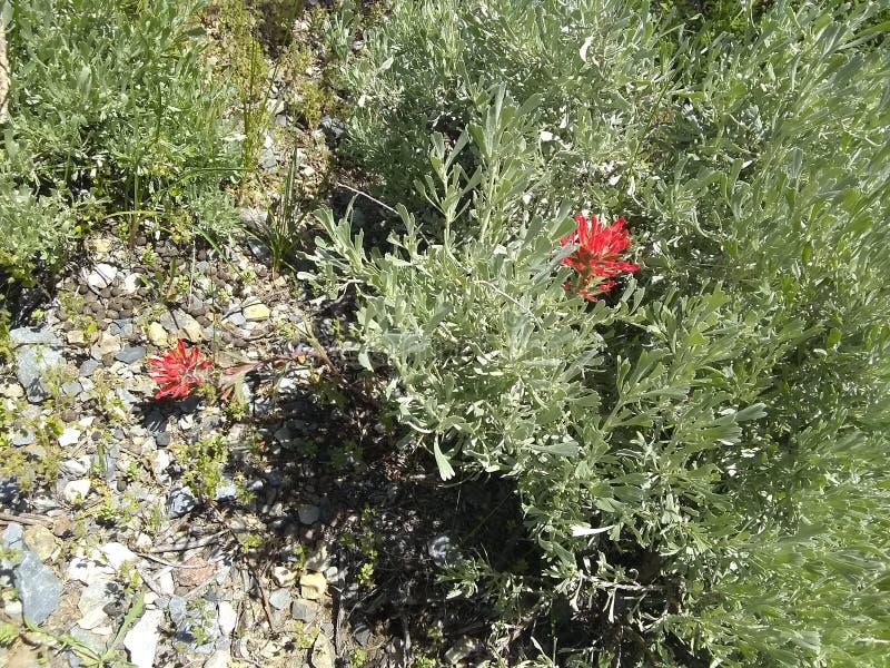Vegetação rasteira h64 da escova da dor de Indain fotografia de stock royalty free