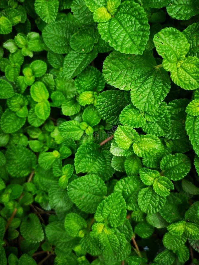 Vegetação verde Muito fundo das folhas foto de stock